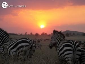 zebra sunset2t