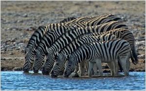 zebras South Africa copyright Annette He