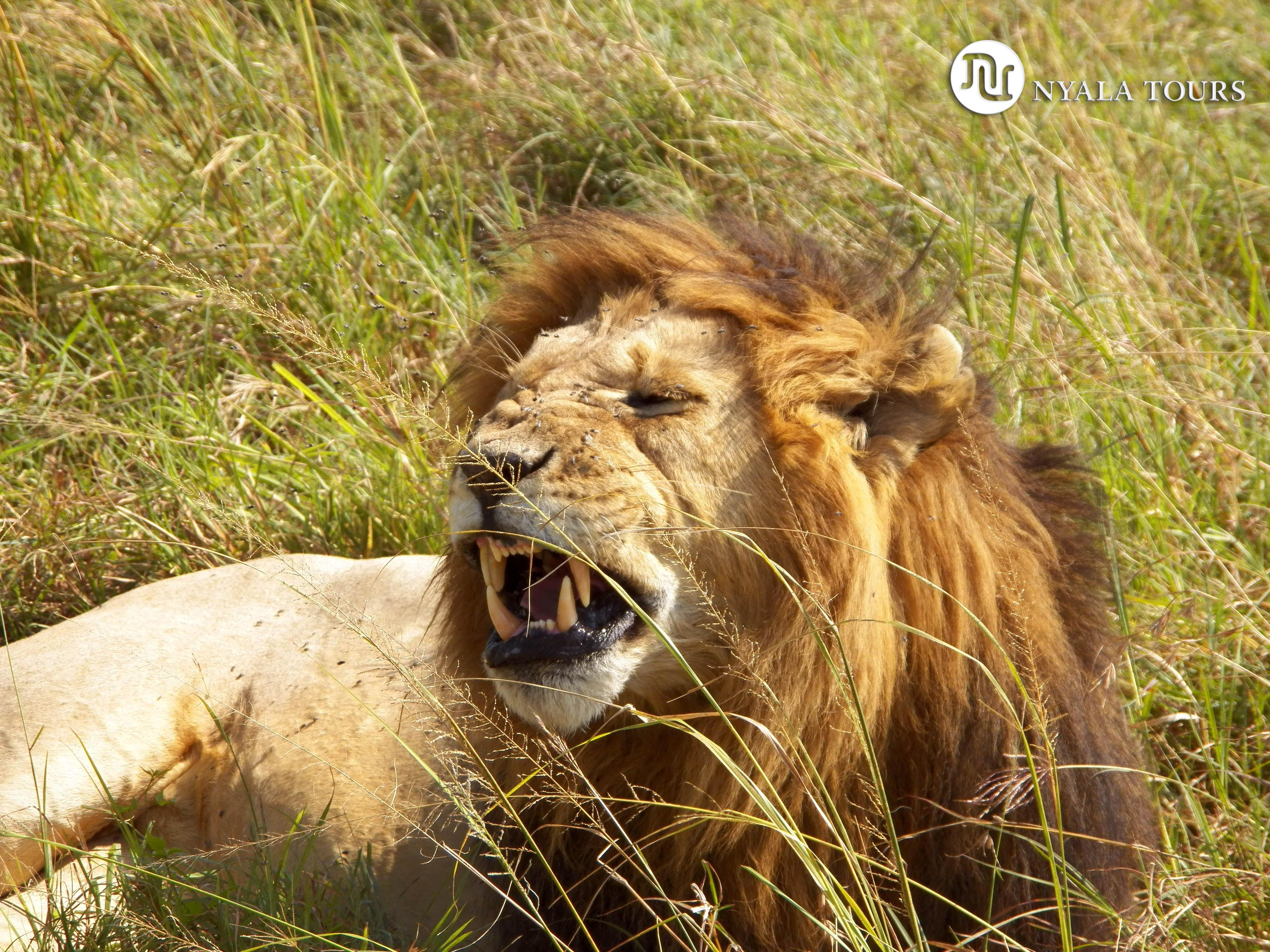LION GROWLING, MARA