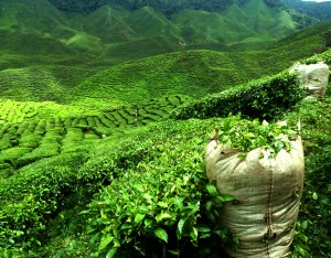 picture of beautiful green tea plantation landscape