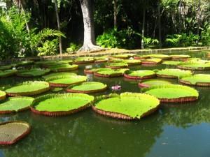 pamplemousses-botanical-garden_5987