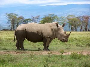 Rhino Nakuru