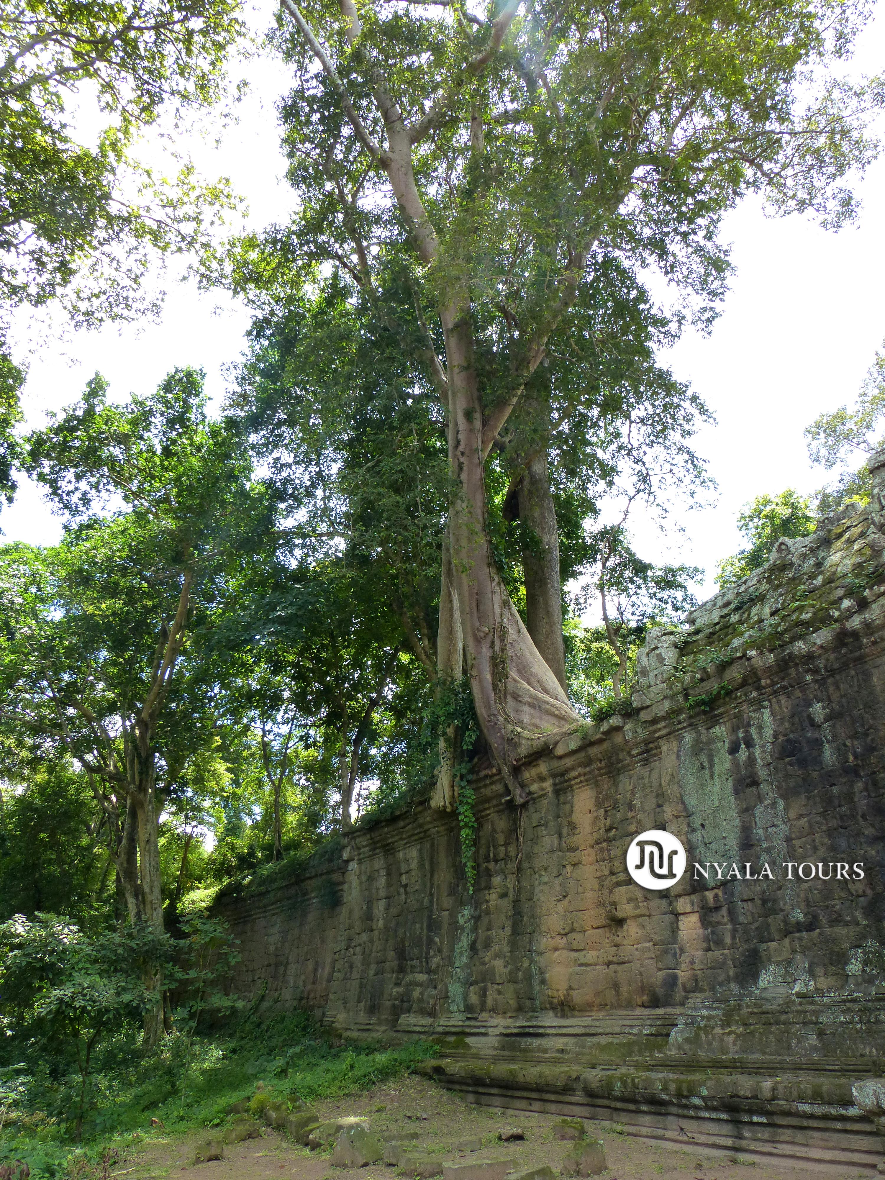 árbol Ankor, Camboya
