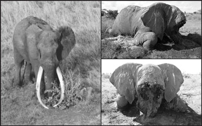 Satao aged 45 A file picture of Satao the elephant and the tragic carcass. Pic courstey tsavotrust.org