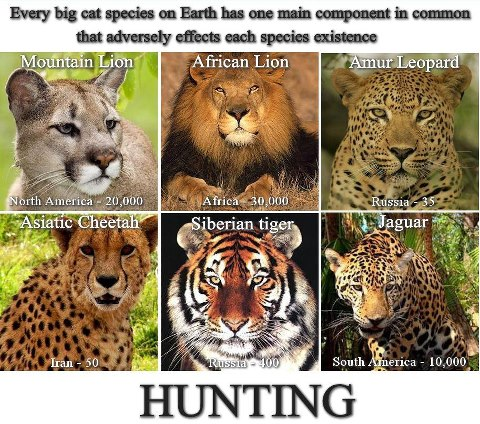 hunting big cats