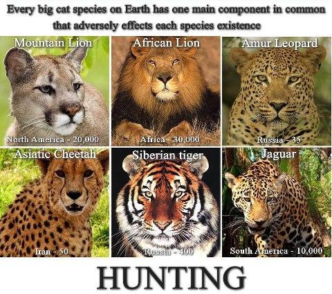 hunting big cats