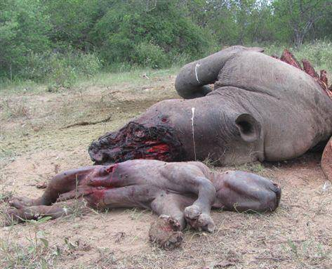 rhino and baby dead