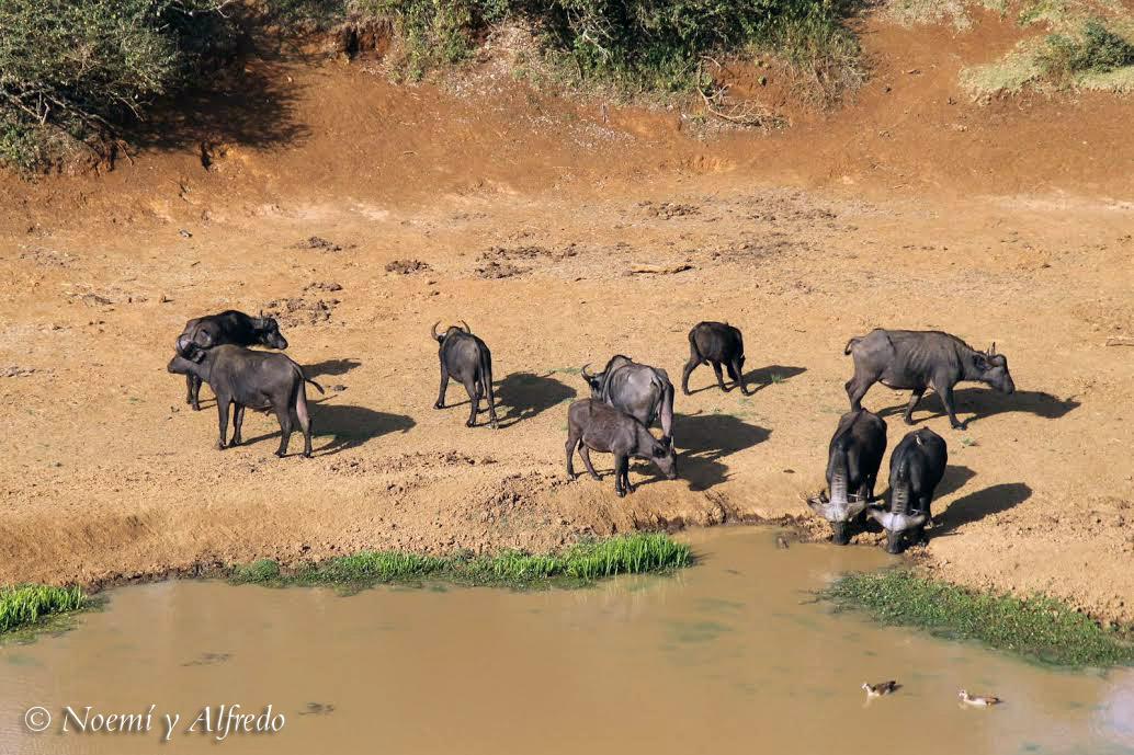 Buffalos the Ark