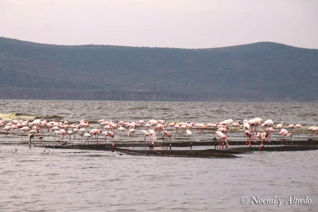 Flamingos Nakuru