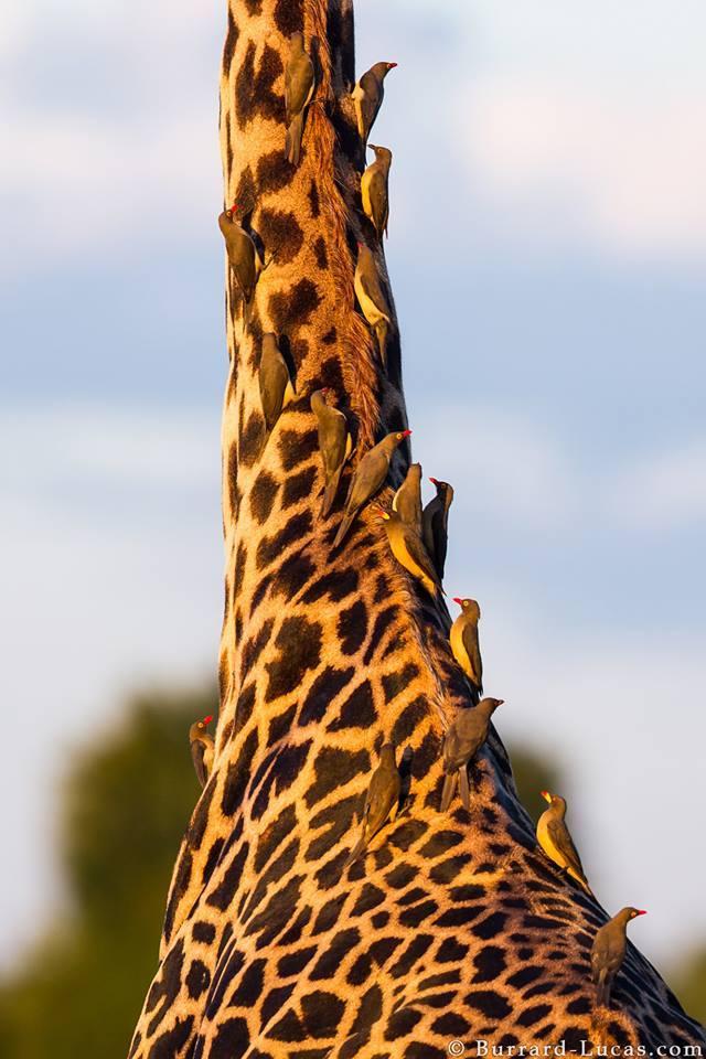 Picabueyes encima de una jirafa © Burrard-Lucas