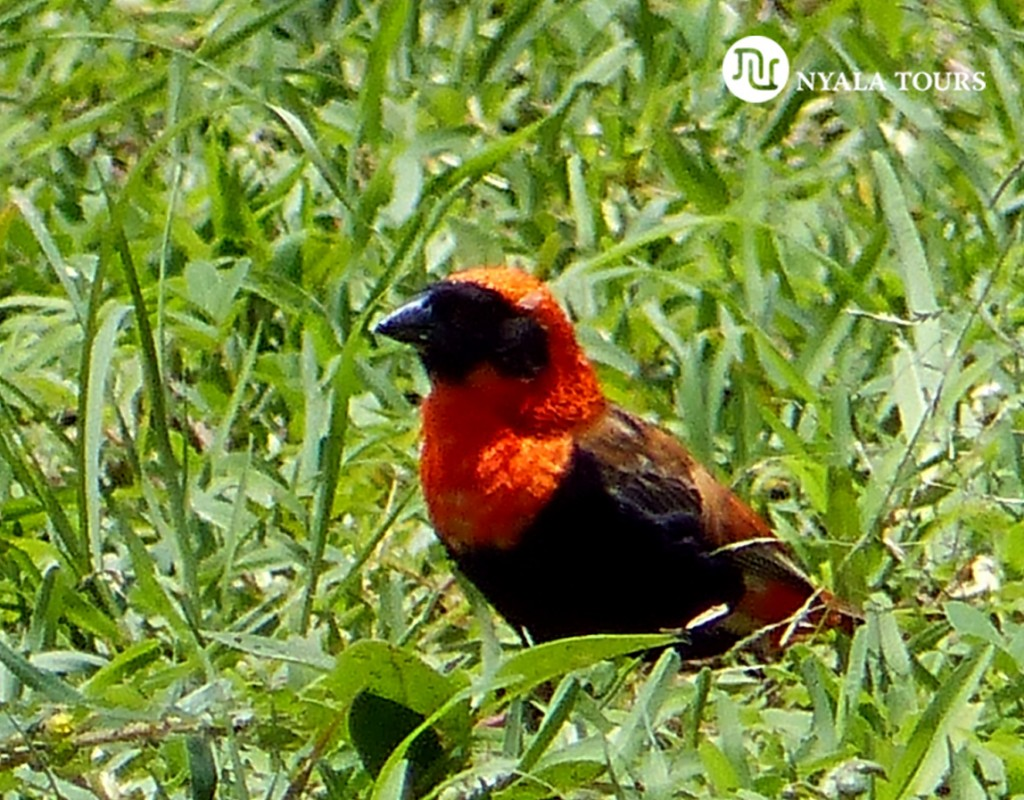 Obispo Rojo (familia de los tejedores)  Sothern Red Bishop, Ilhamba Lakeside safari Lodge, Queen Elizabeth N.P.