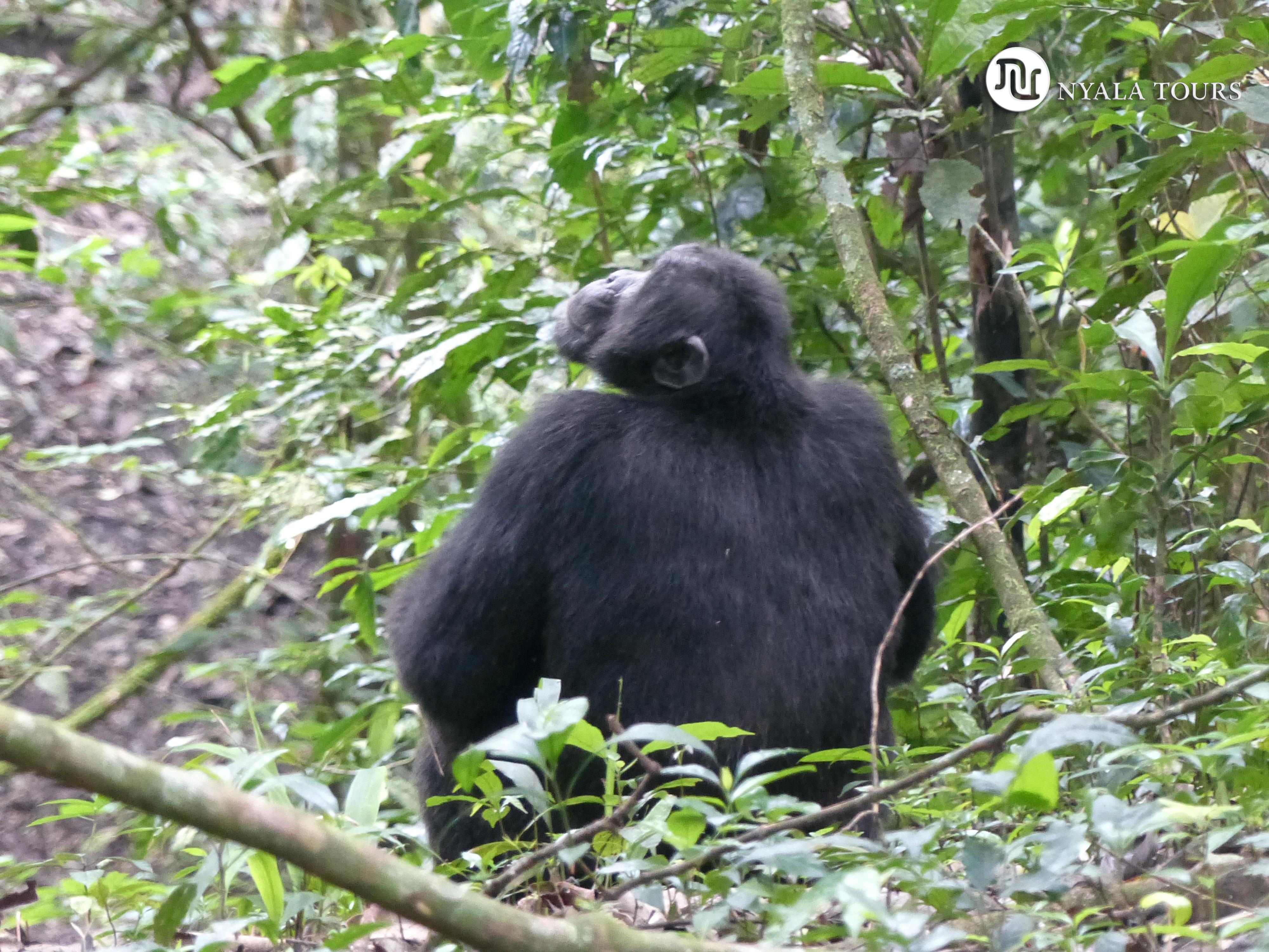 Chimpancé en el bosque de Budongo.  Chimpanzee in Budongo Forest.