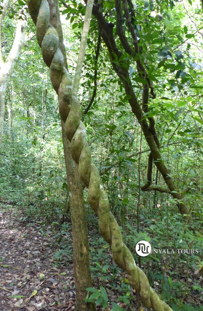 Liana en el Bosque de Budongo.    Liana, Budongo Forest.