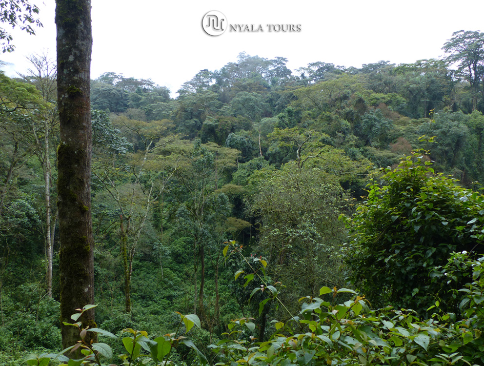 El exuberante bosque de Bwindi.   The lush forest in Bwindi.