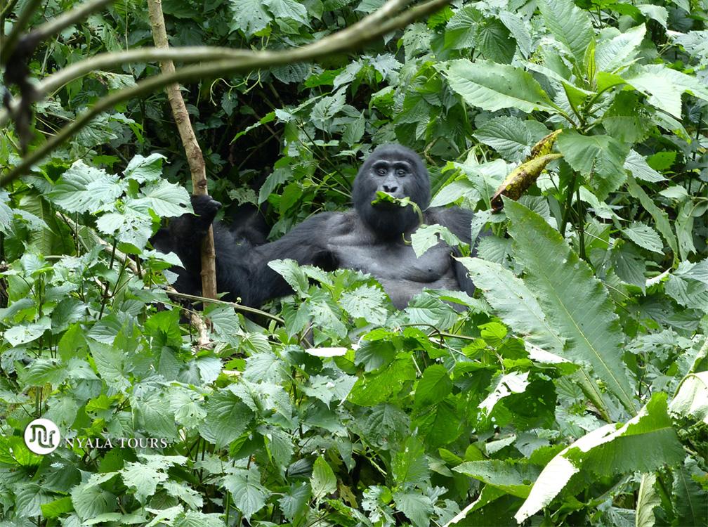¡Wow! Mi primer gorila!!!  Wow! My first gorilla!!!