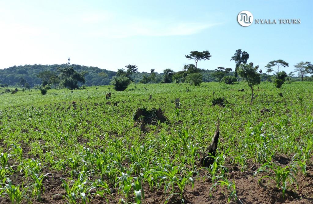 Desbroce de tierras para plantar cosecha, Bosque Bugoma.   Land clearing for crops Bugoma Forest.
