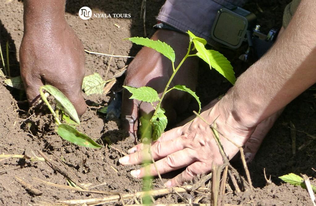 Plantando árbol Mzizi, Bosque de Bugoma.    Planting Mzizi Tree Bugoma Forest