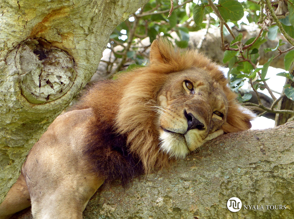Tree-climbing-lion-1Ishasha,-Queen-Elizabeth
