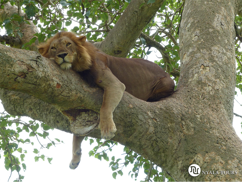 Tree-climbing-lion-Ishasha,-Queen-Elizabeth