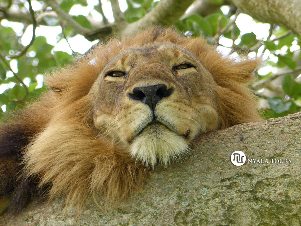 Tree-climbing-lion-portrait-Ishasha,-Queen-Elizabeth