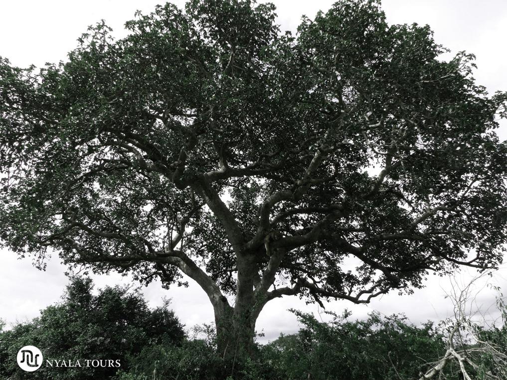 Tree-climbing-lion-tree-Ishasha,-Queen-Elizabeth