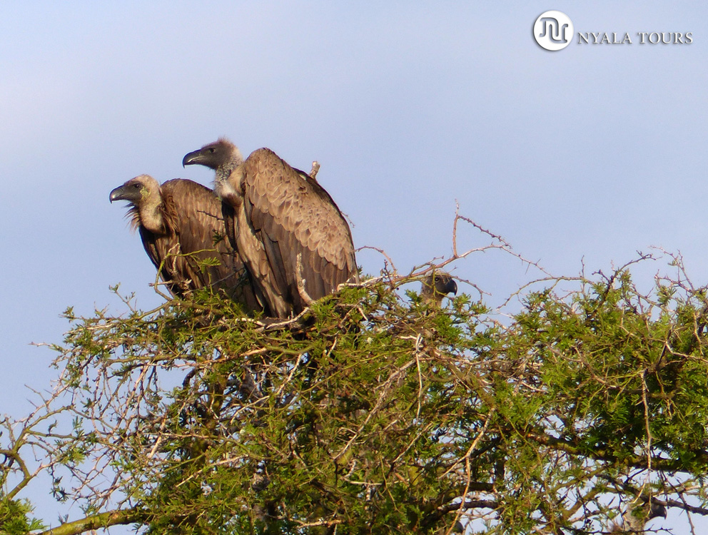 Buitres Dorsiblanco Africano. White-backed vultures tree.  Ishasha, Queen Elizabeth