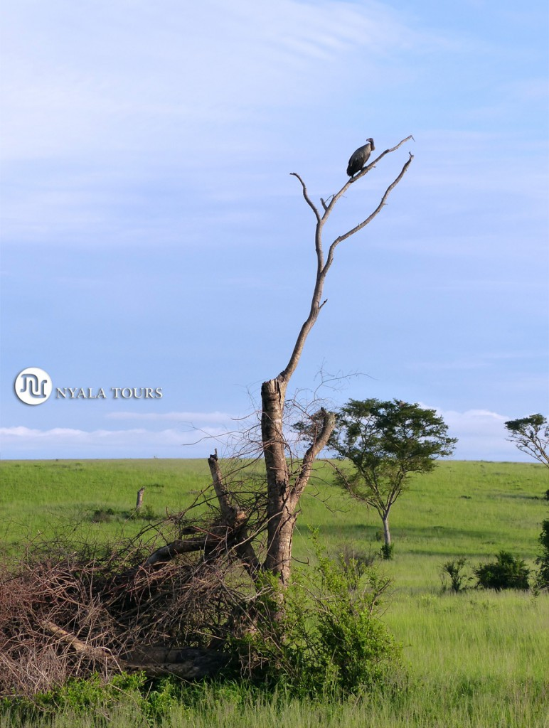 Buitre Dorsiblanco Africano.  White-backed vulture tree. Ishasha, Queen Elizabeth