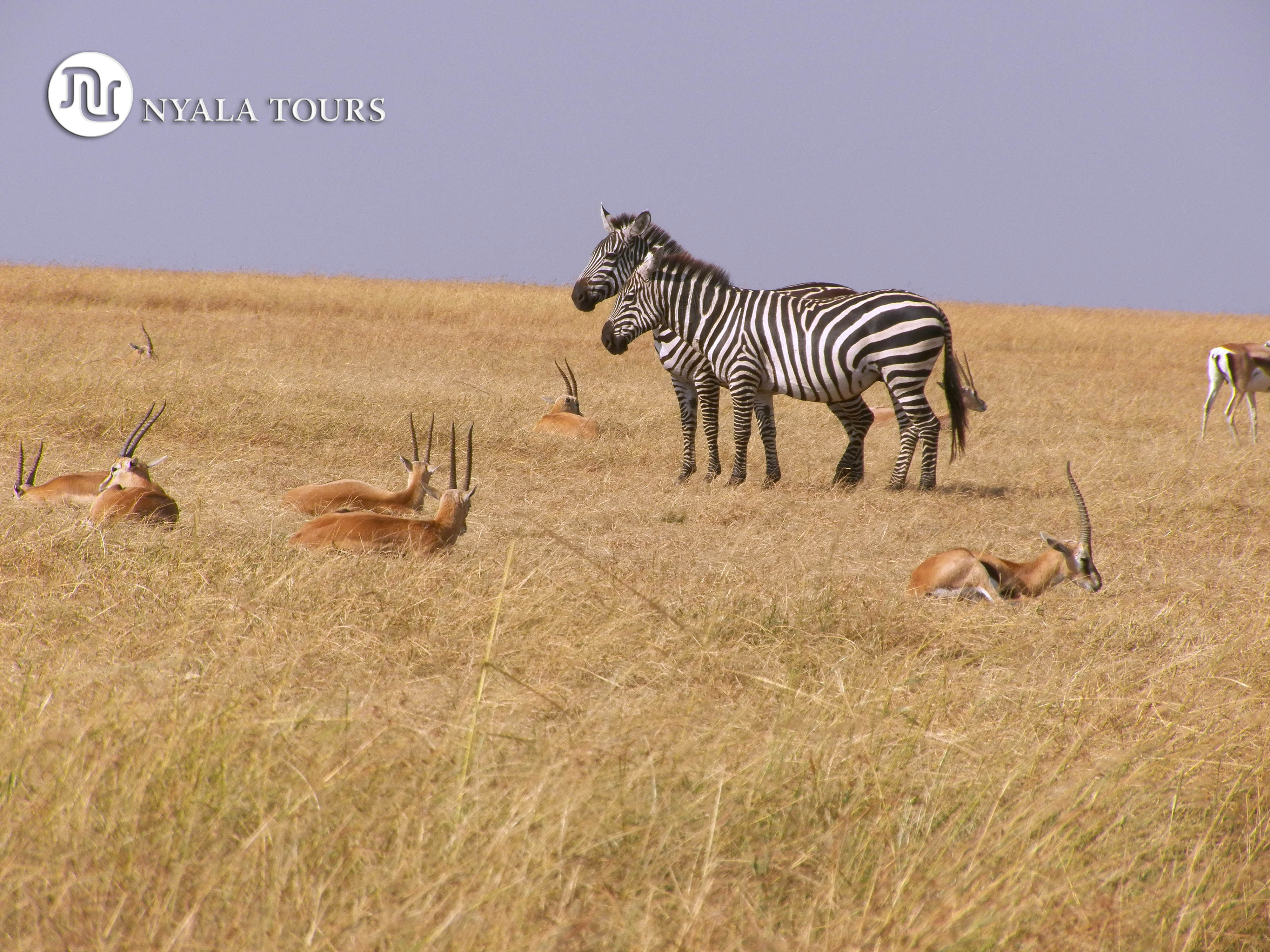 ZEBRAS AND GRAN´TS GAZZELES, Masai Mara.