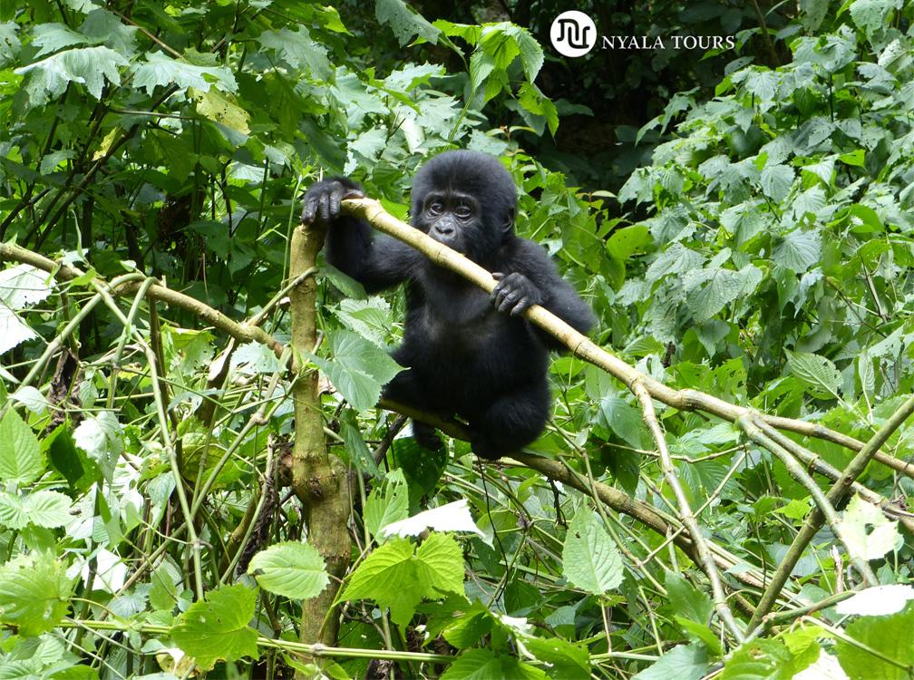 baby-gorilla-2-Bwindi