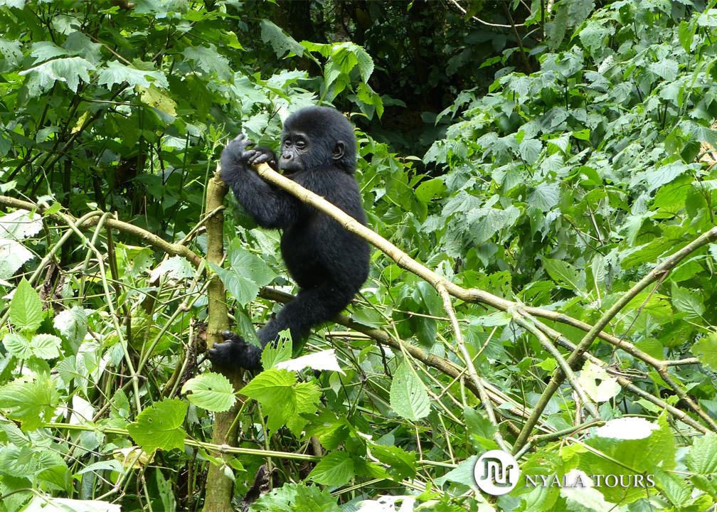 baby-gorilla-4-Bwindi