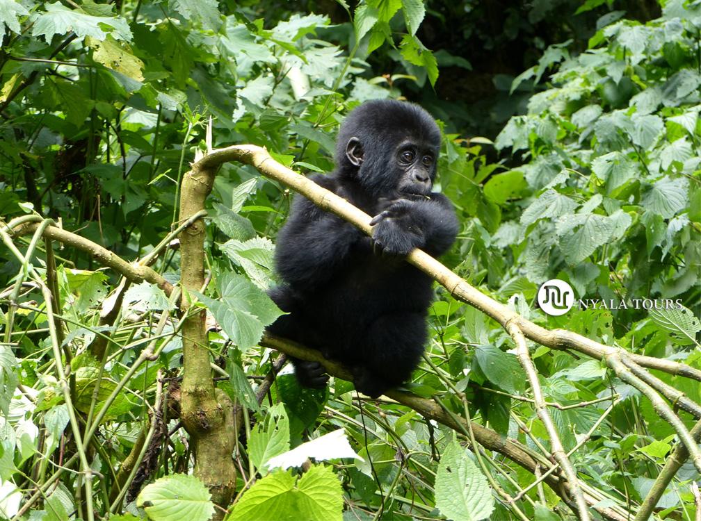 baby-gorilla-5-Bwindi