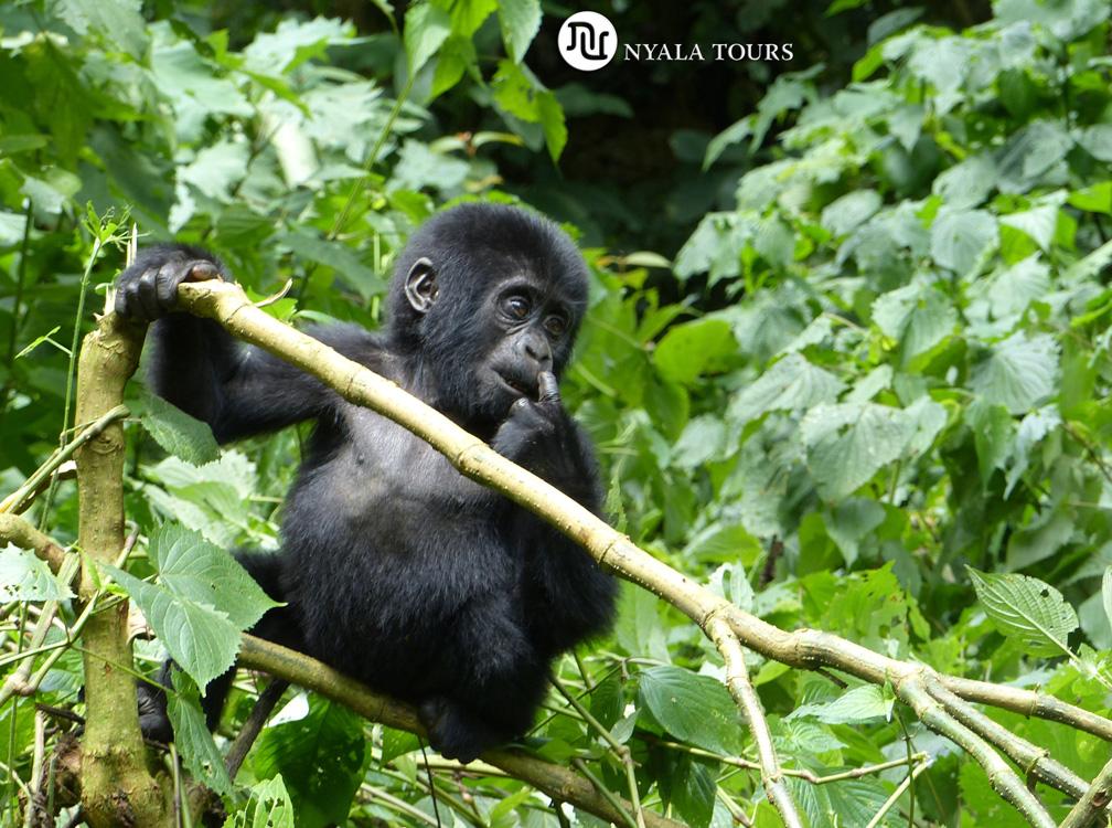 baby-gorilla1-Bwindi