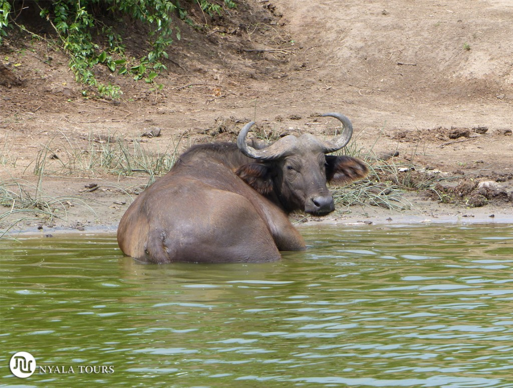 Búfalo.  Buffalo.  Kazinga channel Queen Elizabeth.