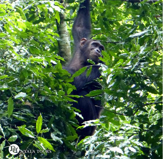 Chimpanzee en el Bosque de Budongo.     Chimpanzee Budongo Forest