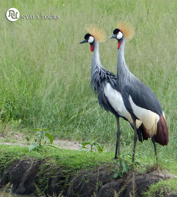 crested-cranes-1-Ishasha,-Queen-Elizabeth