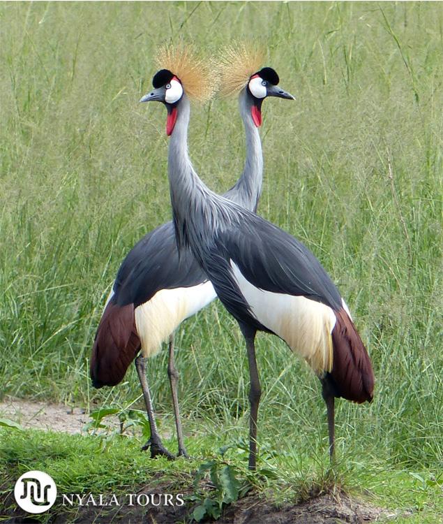 Las grullas coronadas es el símbolo de Uganda. Crested cranes are the simbol of Uganda. Ishasha, Queen Elizabeth