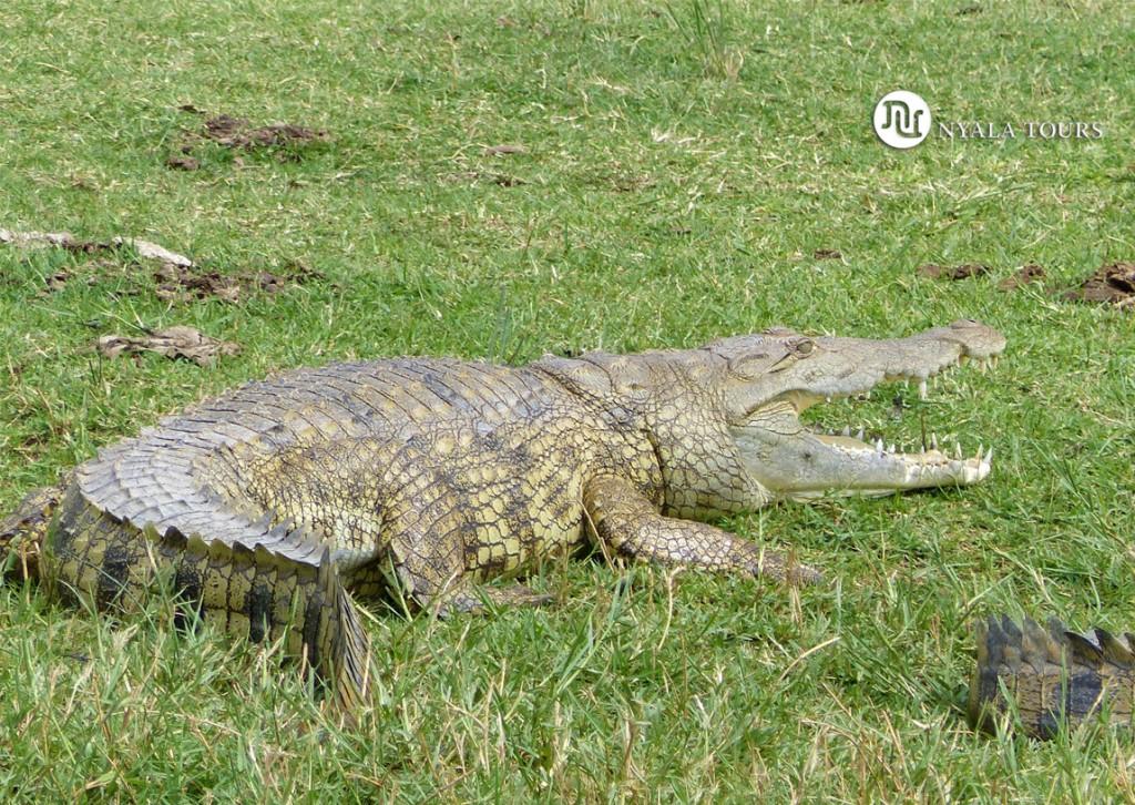 Cocodrilo del Nilo.  Nile Crocodile.   Kazinga Channel, Queen Elizabeth