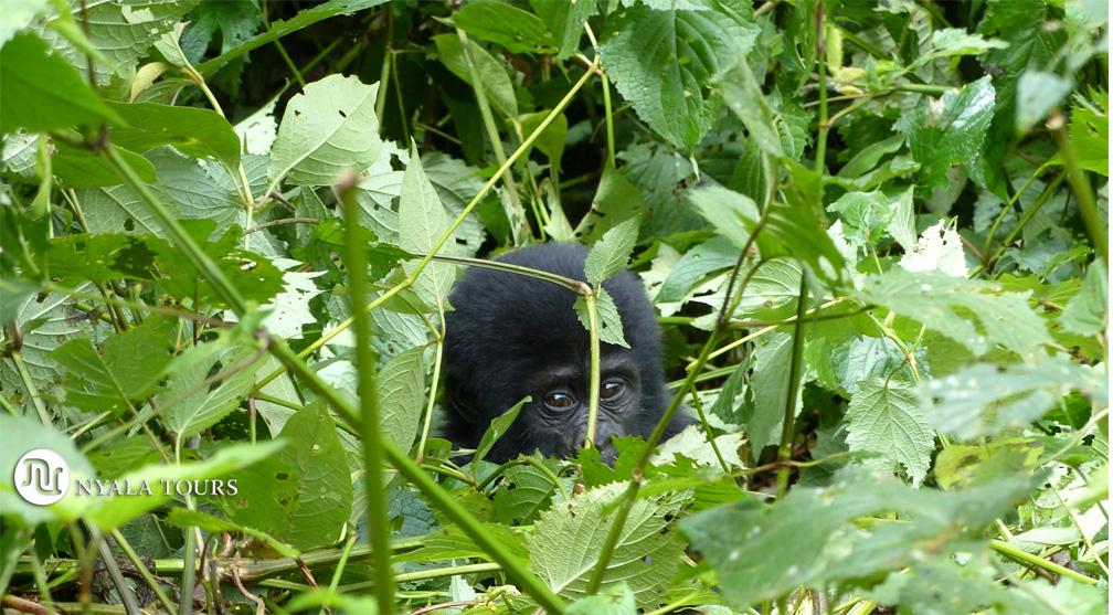 gorilla-baby-Bwindi