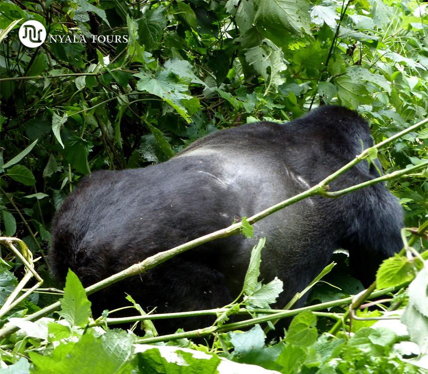 gorilla-back-Bwindi
