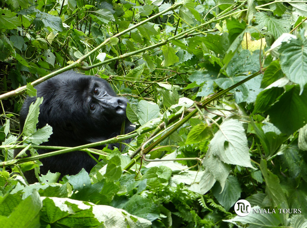 gorilla-looking-at-me-Bwindi