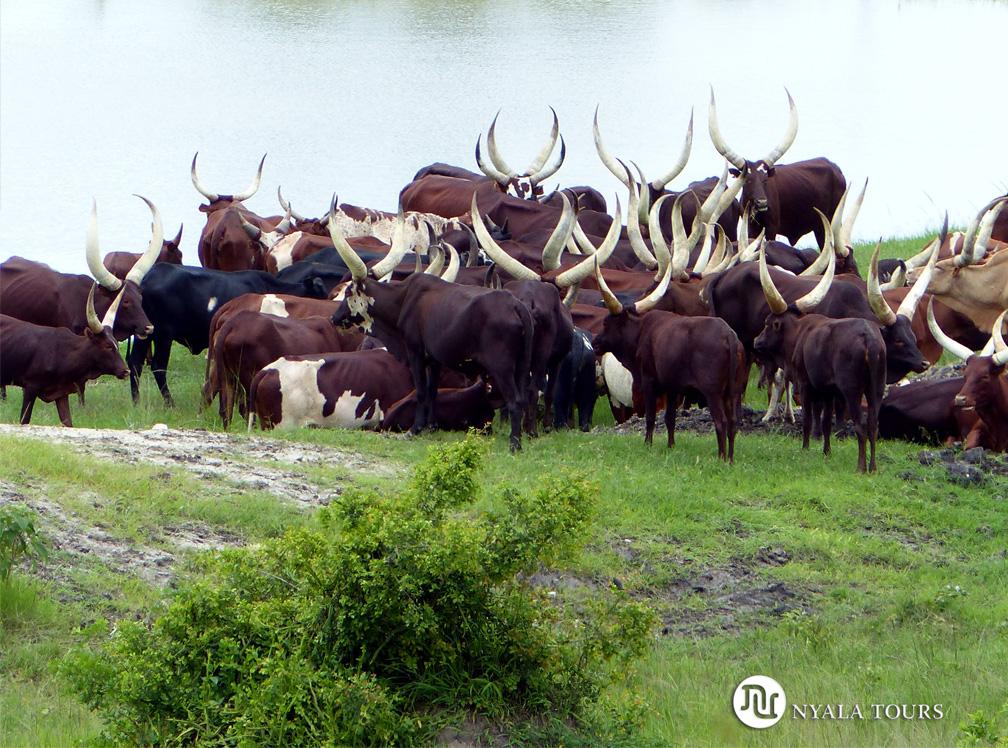 Ganado Ankole, Lago Mburo. Ankole cows, Lake Mburo