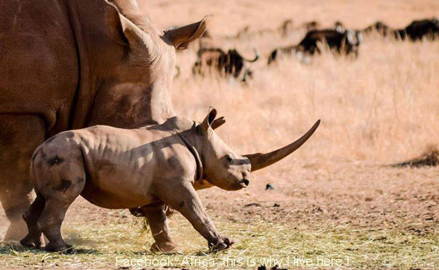 rhino-baby-with-big-horn