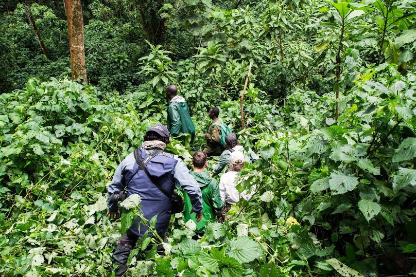 Treking de los gorilas.  Gorilla trekking.  Bwindi ©  Sven Gusten