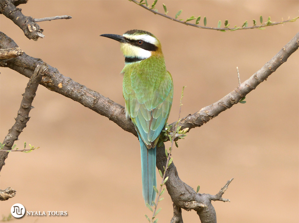 El abejaruco gorgiblanco  White-throated bee-eater