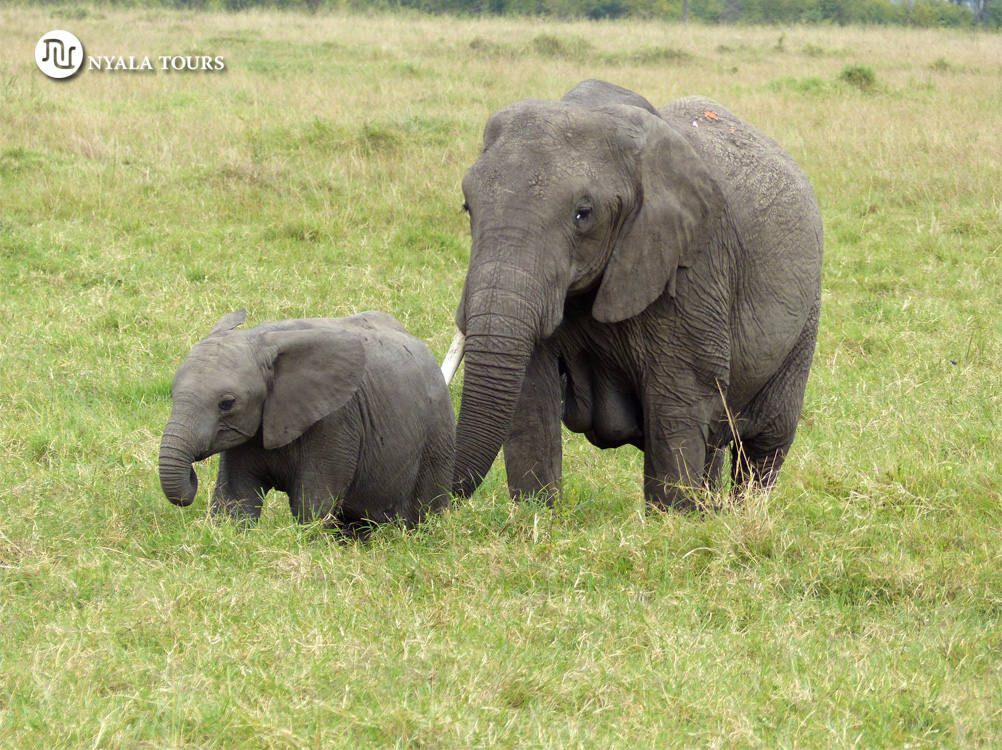 Elephant mom and baby Mara sello