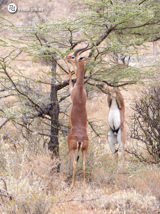 Gernuk Samburu