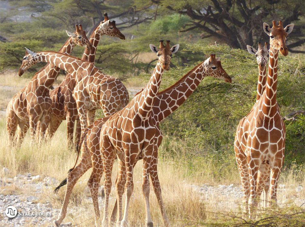 Giraffes Shaba