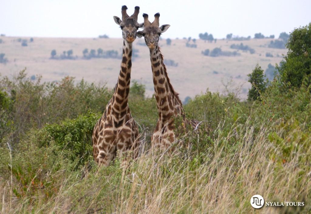 giraffes Mara sello