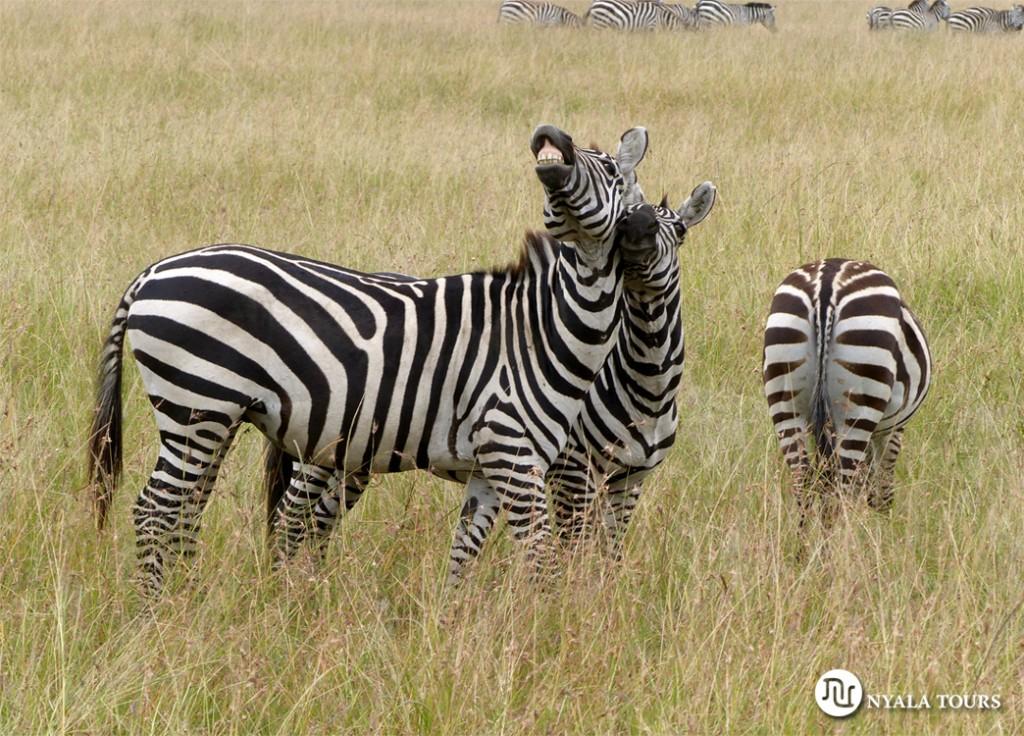 zebras mara
