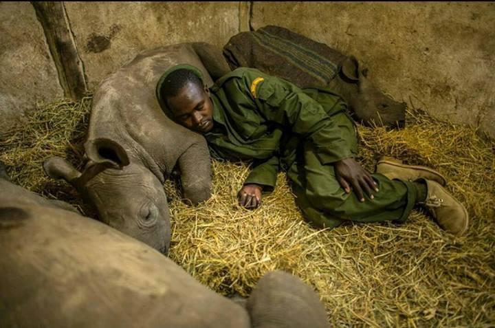 A ranger in Kenya sleeps beside baby orphan rhinos that he's protecting.  Un guarda en Kenia duerme al lado de rinocerontes huérfanos bebé que está protegiendo